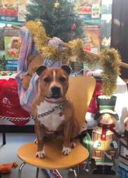 Dog sitting on chair with Christmas decorations