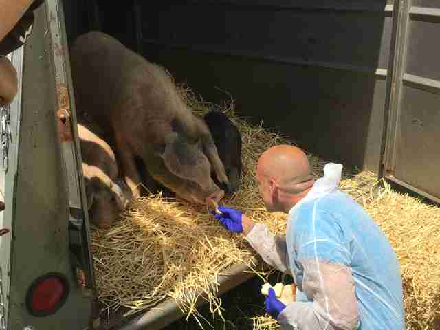Man comforting pigs inside trailer