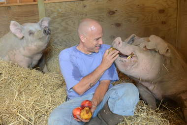 Man hand-feeding large pig
