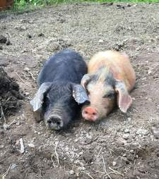 Neglected piglets at property in New York