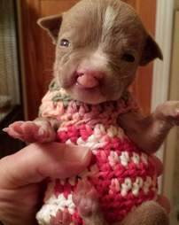 sasha pit bull puppy with cleft lip