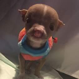 sasha pit bull puppy