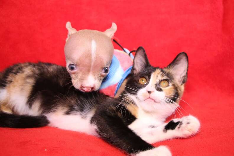 sasha pit bull puppy and cat