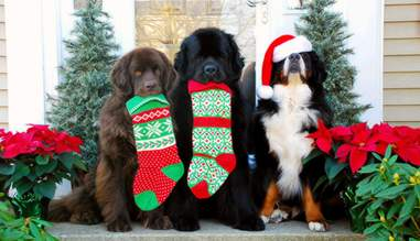 Saint Bernard dogs holding Christmas stockings