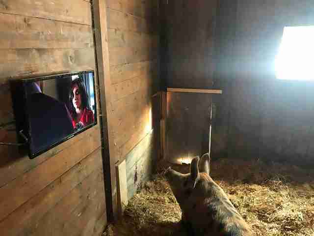 rescue pig injured watching christmas movies