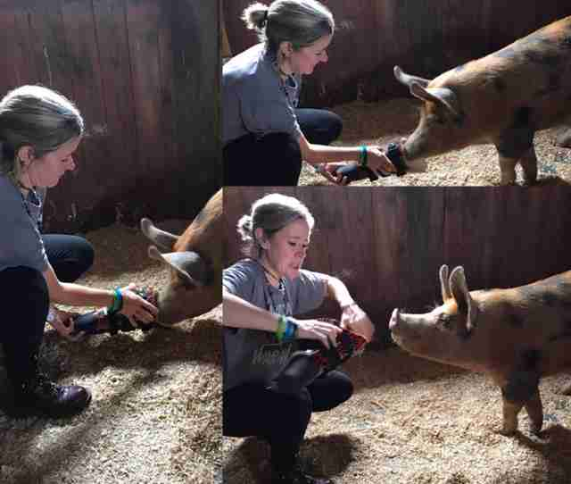 rescue pig injured leg prosthetic