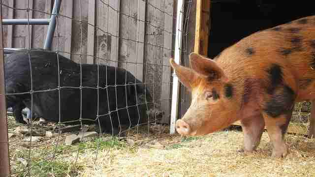 rescue pig injured prosthetic leg