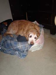 dog sleeps with dad's shirt every night