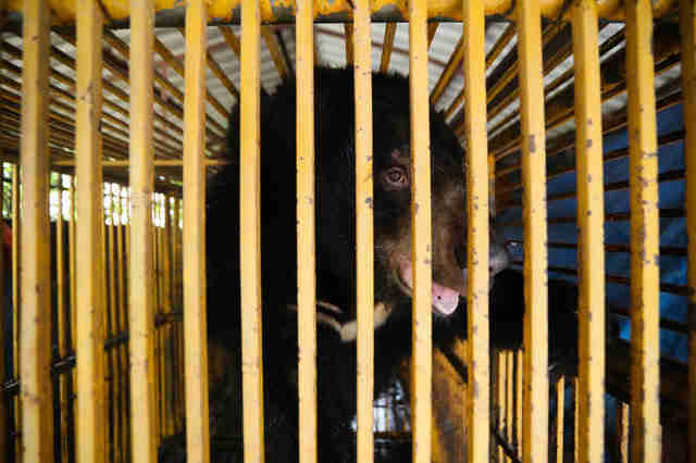 bile bear rescue vietnam