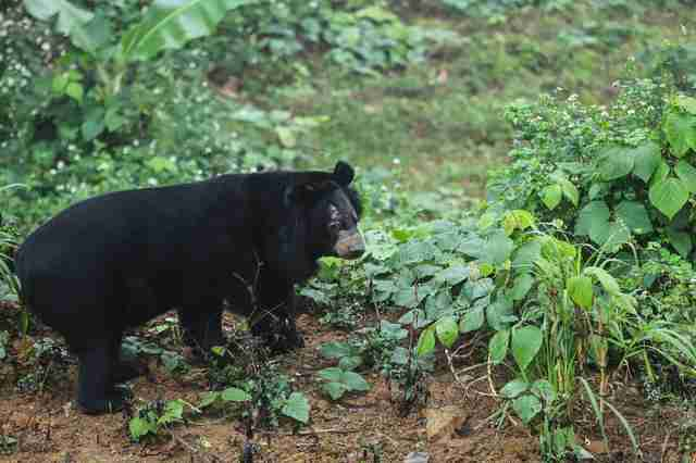 bile bear rescue vietnam sanctuary