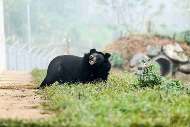 rescue bile bear vietnam sanctuary