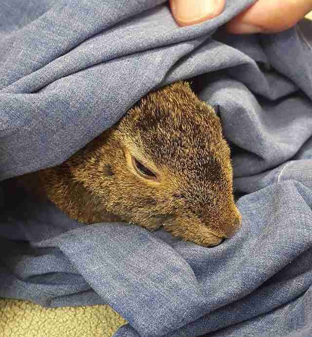 rescued cottontail rabbit california wildfires