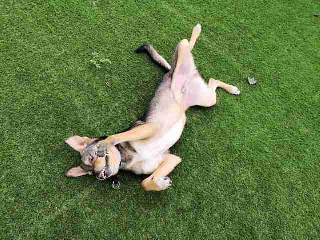 Special needs dog rolling around in the grass