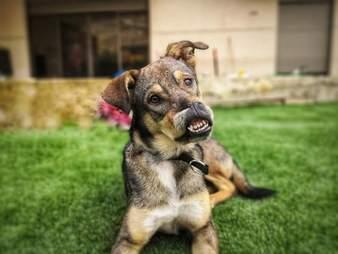 Dog with serious facial injury smiling at camera