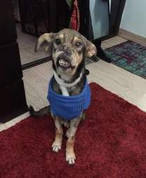 Dog recovering from facial injury
