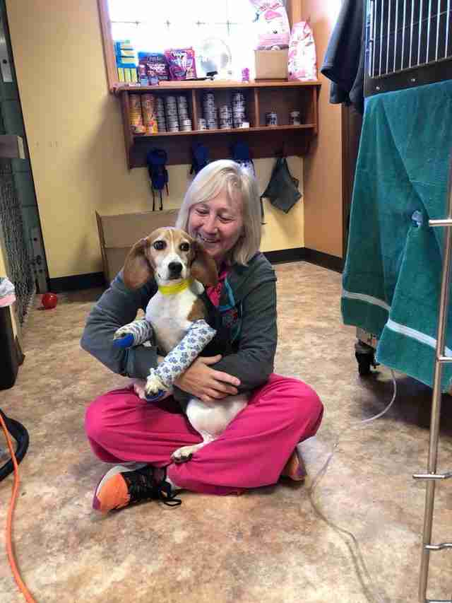 Beagle with broken legs at animal hospital