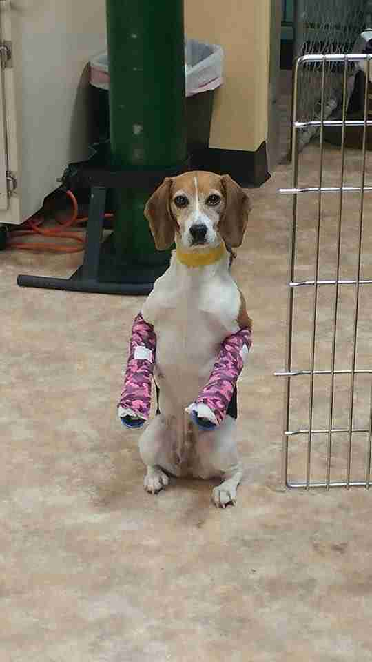 Beagle with pink casts