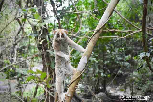 Wild slow loris found in Thailand man's shower
