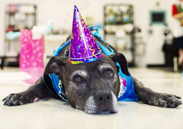 Senior pit bull saved from shelter