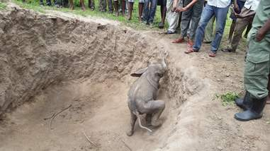 Baby elephant trying to get out of pit