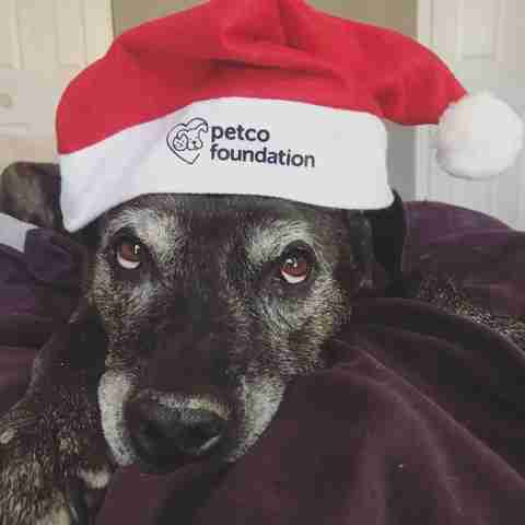 Senior rescue pit bull in Santa hat