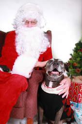 Senior pit bull meets Santa