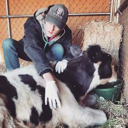 Vet tending to cow at sanctuary