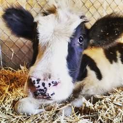 Closeup of calf inside pen
