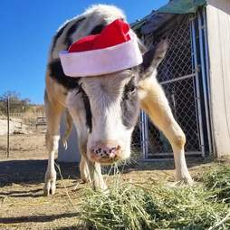 Cow with santa hat on