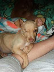 chihuahua puppy garbage bag rescue texas