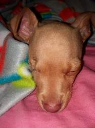 chihuahua puppy rescue garbage bag texas