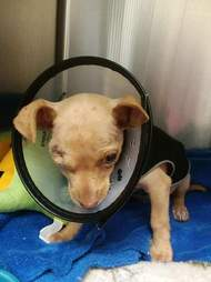 chihuahua puppy garbage bag texas rescue