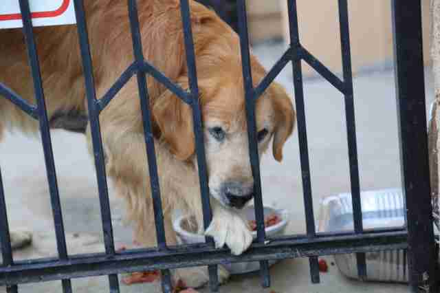 abandoned senior golden retriever california