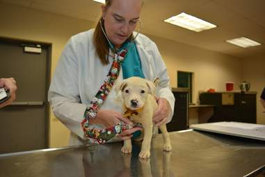 rescued puppy getting examined at humane society of Missouri