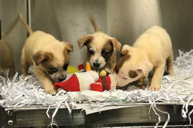 Rescued puppies play in their kennel at the Humane Society of Missouri