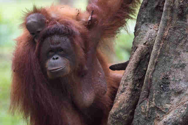 Orangutan and baby cling to tree in Indonesian rainforest
