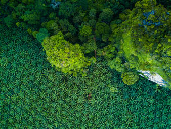 Palm oil plantation encroaching on rainforest in Indonesia