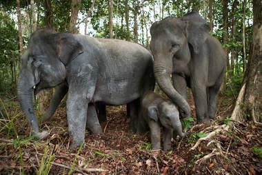 Sumatran elephant family