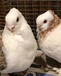 Rescued satinette pigeons Romeo and Juliet