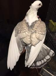 Rescued satinette pigeon Romeo