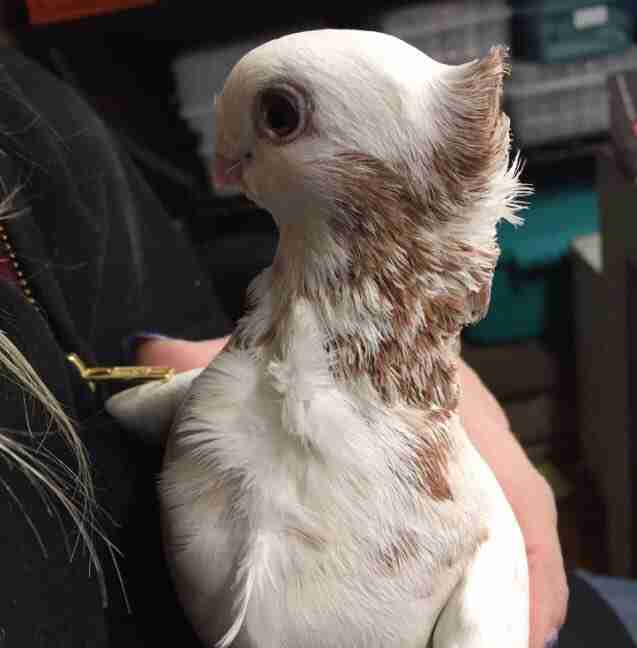 Rescued satinette pigeon Juliet