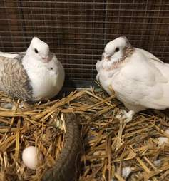 Satinette pigeon couple at wildlife rescue center