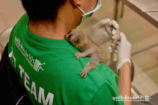 Rescued baby slow loris in Thailand