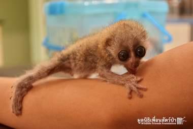 Rescued slow loris in Thailand
