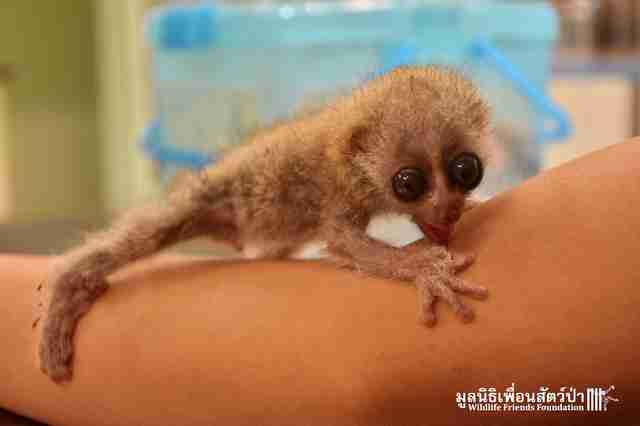 Rescued slow loris in Thailand