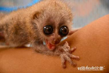 Baby slow loris rescued in Thailand