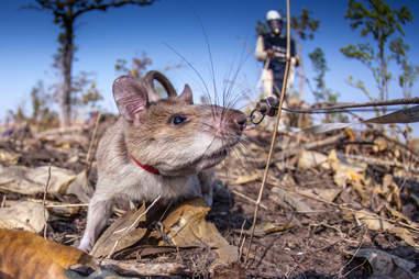 african rat detect landmine