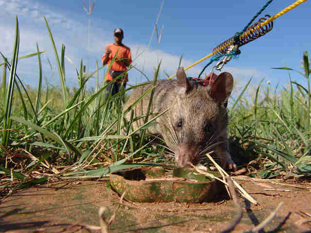 african giant pouched rat detect landmine