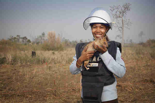 african giant pouched rats detect landmines