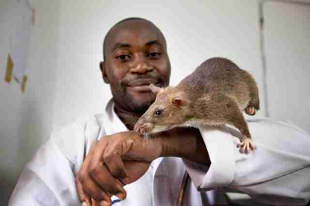 african rat tuberculosis test detection